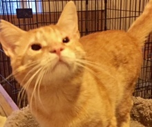 [picture of Goldust, a Domestic Short Hair orange\ cat]