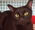 A picture of #ET01724: Cyda a Domestic Short Hair black
