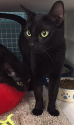 [picture of Cyda, a Domestic Short Hair black cat]