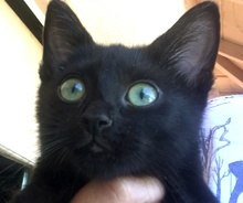 [picture of Danno, a Domestic Medium Hair black\ cat]