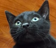 A picture of #ET01727: Quiz a Domestic Short Hair black