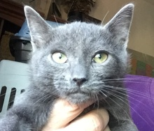 [picture of Taz, a Domestic Short Hair russina blue mix\ cat]