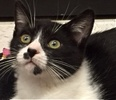 A picture of #ET01729: Waz a Domestic Short Hair black/white tuxedo