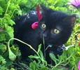 A picture of #ET01730: Pearl a Domestic Short Hair black