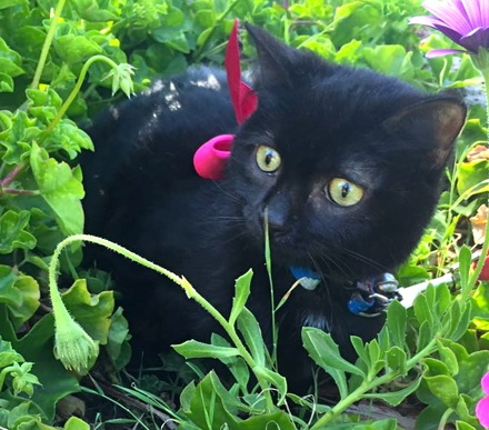 [picture of Pearl, a Domestic Short Hair black\ cat]