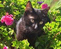 A picture of #ET01731: Onyx a Domestic Short Hair black