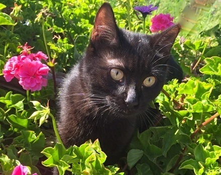 [picture of Onyx, a Domestic Short Hair black\ cat]