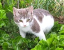 A picture of #ET01732: Europea a Domestic Short Hair blue/white