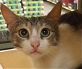 A picture of #ET01734: Carmela a Domestic Short Hair gray tabby/white