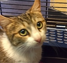 [picture of Carmela, a Domestic Short Hair gray tabby/white\ cat]