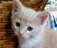 A picture of #ET01736: Barberry a Domestic Short Hair buff/white