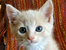 [picture of Bugleweed, a Domestic Short Hair buff/white\ cat]