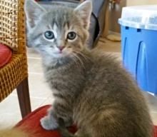 [another picture of Basil, a Domestic Medium Hair silver\ cat]