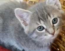 [picture of Basil, a Domestic Medium Hair silver\ cat]