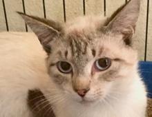 [picture of Leonardo, a Siamese lynx point\ cat]