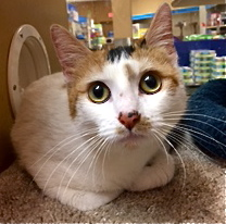 [another picture of Katya, a Domestic Short Hair calico\ cat]