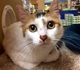[picture of Katya, a Domestic Short Hair calico cat]