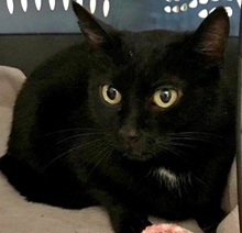 [picture of Willow, a Domestic Short Hair black\ cat]