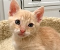 A picture of #ET01744: Karsen a Domestic Short Hair orange