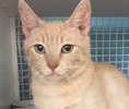 A picture of #ET01746: Yola a Domestic Short Hair orange