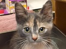 A picture of #ET01747: Hermione a Domestic Short Hair dilute calico