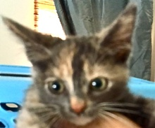 [picture of Hermione, a Domestic Short Hair dilute calico\ cat]