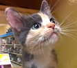 A picture of #ET01748: Mochi a Domestic Short Hair dilute calico/orange stripe face