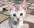 A picture of #ET01751: Mira a Domestic Short Hair white tabby