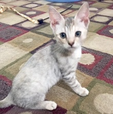 [picture of Mira, a Domestic Short Hair white tabby cat]