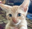 A picture of #ET01752: Pip a Domestic Short Hair orange tabby