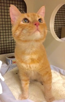 [another picture of Chester, a Domestic Short Hair orange\ cat]