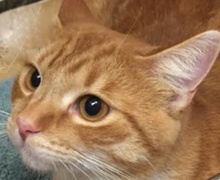 [picture of Chester, a Domestic Short Hair orange\ cat]