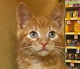 A picture of #ET01754: Cinnabun a Domestic Medium Hair red