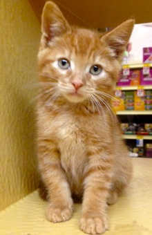 [another picture of Cinnabun, a Domestic Medium Hair red\ cat]