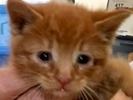 [picture of Cinnabun, a Domestic Medium Hair red cat]