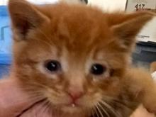 [picture of Cinnabun, a Domestic Medium Hair red\ cat]