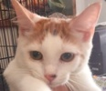 A picture of #ET01755: Strawberry Shortcake a Domestic Short Hair white/orange