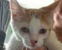 [picture of Strawberry Shortcake, a Domestic Short Hair white/orange cat]
