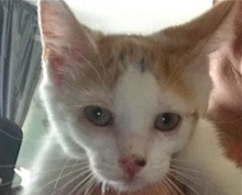 [picture of Strawberry Shortcake, a Domestic Short Hair white/orange\ cat]