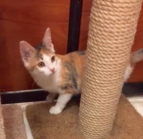 [another picture of Souffle, a Domestic Short Hair calico\ cat]