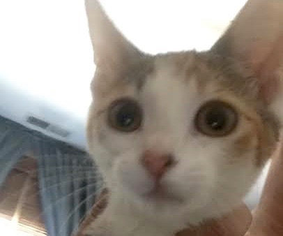 [picture of Souffle, a Domestic Short Hair calico\ cat]