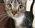 A picture of #ET01757: Riley a Domestic Short Hair black swirl tabby/white