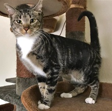 [another picture of Riley, a Domestic Short Hair black swirl tabby/white\ cat]