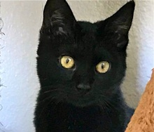 [picture of Buckya, a Bombay Mix black\ cat]
