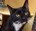 A picture of #ET01759: Bobbi a Domestic Short Hair black/white tuxedo