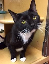 [picture of Bobbi, a Domestic Short Hair black/white tuxedo cat]