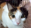 A picture of #ET01760: Mimosa a Domestic Short Hair calico