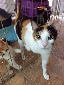 [another picture of Mimosa, a Domestic Short Hair calico\ cat]