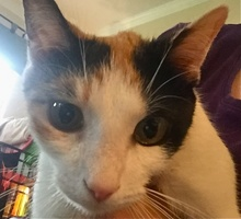 [picture of Mimosa, a Domestic Short Hair calico\ cat]