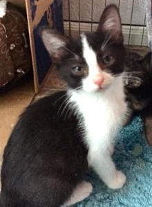 [picture of Tucker, a Domestic Short Hair black/white tuxedo cat]